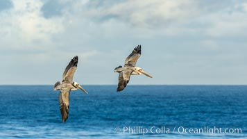 Brown pelican in flight, over the ocean. La Jolla, California, USA, Pelecanus occidentalis, Pelecanus occidentalis californicus, natural history stock photograph, photo id 30182