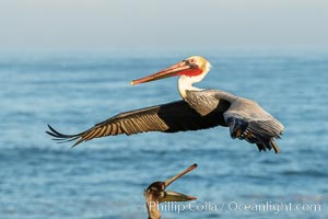 Brown pelican in flight. The wingspan of the brown pelican is over 7 feet wide. The California race of the brown pelican holds endangered species status. In winter months, breeding adults assume a dramatic plumage, Pelecanus occidentalis californicus, Pelecanus occidentalis, La Jolla