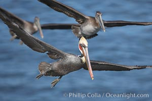 California brown pelicans fly in formation, Pelecanus occidentalis, Pelecanus occidentalis californicus, La Jolla