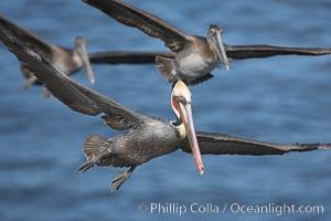 California brown pelicans fly in formation. La Jolla, USA, Pelecanus occidentalis, Pelecanus occidentalis californicus, natural history stock photograph, photo id 18232