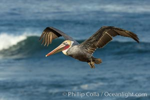Brown pelican flying over waves and the surf. La Jolla, California, USA, Pelecanus occidentalis, Pelecanus occidentalis californicus, natural history stock photograph, photo id 30186