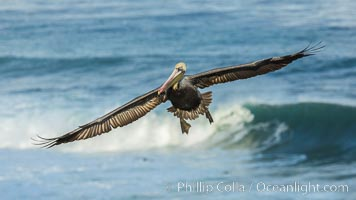 Brown pelican flying over waves and the surf. La Jolla, California, USA, Pelecanus occidentalis, Pelecanus occidentalis californicus, natural history stock photograph, photo id 30187