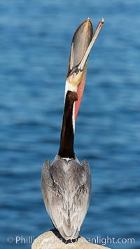 Brown pelican head throw. During a bill throw, the pelican arches its neck back, lifting its large bill upward and stretching its throat pouch, Pelecanus occidentalis, Pelecanus occidentalis californicus, La Jolla, California
