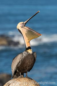 California Brown Pelican head throw, stretching its throat to keep it flexible and healthy, Pelecanus occidentalis californicus, Pelecanus occidentalis, La Jolla