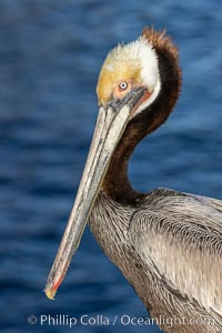 Brown pelican portrait, displaying winter breeding plumage with distinctive dark brown nape, white and yellow yellow head feathers and red and yellow gular throat pouch, Pelecanus occidentalis californicus, Pelecanus occidentalis, La Jolla, California