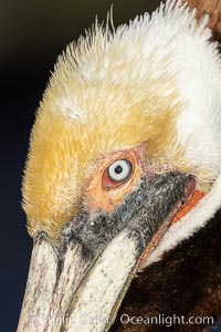 Brown pelican close up portrait, showing eye and transition from plumage to beak, with winter yellow and white head feathers, Pelecanus occidentalis californicus, Pelecanus occidentalis, La Jolla, California