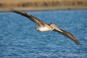 Brown pelican, Pelecanus occidentalis, San Diego Bay National Wildlife Refuge