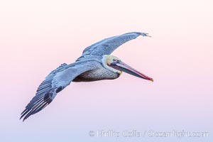 Brown pelican in flight, pink predawn sky. La Jolla, California, USA, natural history stock photograph, photo id 28344