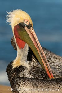 Brown pelican preening, cleaning its feathers after foraging on the ocean, with distinctive winter breeding plumage with distinctive dark brown nape, yellow head feathers and red gular throat pouch, Pelecanus occidentalis californicus, Pelecanus occidentalis, La Jolla, California