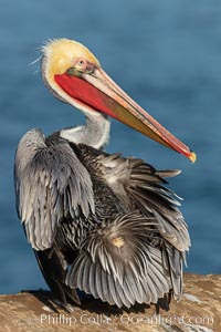 A brown pelican preening, uropygial gland (preen gland) visible near the base of its tail. Preen oil from the uropygial gland is spread by the pelican's beak and back of its head to all other feathers on the pelican, helping to keep them water resistant and dry. Note adult winter breeding plumage in display, with brown neck, red gular throat pouch and yellow and white head, Pelecanus occidentalis californicus, Pelecanus occidentalis, La Jolla, California