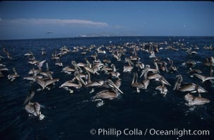 Brown pelicans feeding on krill, Pelecanus occidentalis, Coronado Islands (Islas Coronado)