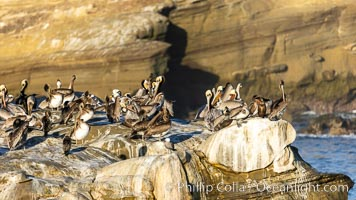 Brown pelicans rest and preen on seacliffs above the ocean. In winter months, breeding adults assume a dramatic plumage with brown neck, yellow and white head and bright red-orange gular throat pouch, La Jolla, California