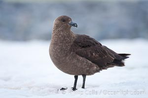 Brown skua in Antarctica. Cuverville Island, Antarctic Peninsula, Antarctica, Stercorarius antarctica, Catharacta antarctica, natural history stock photograph, photo id 25504
