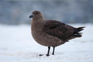 Brown skua in Antarctica. Cuverville Island, Antarctic Peninsula, Antarctica, Stercorarius antarctica, Catharacta antarctica, natural history stock photograph, photo id 25536