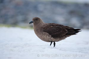 Image 25537, Brown skua in Antarctica. Cuverville Island, Antarctic Peninsula, Antarctica, Stercorarius antarctica, Catharacta antarctica, Phillip Colla, all rights reserved worldwide. Keywords: animalia, antarctic peninsula, antarctic skua, antarctica, antarcticus, aves, bird, brown skua, catharacta, catharacta antarctica, charadriiformes, chordata, cuverville island, oceans, southern ocean, stercorariidae, stercorarius, stercorarius antarctica, vertebrata, vertebrate.