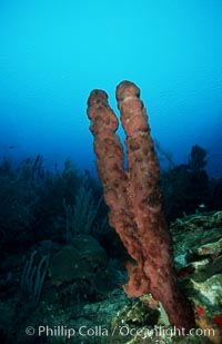 Brown tube sponge. Roatan, Honduras, Agelas conifera, natural history stock photograph, photo id 04607