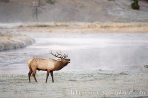 Male elk bugling during the fall rut. Large male elk are known as bulls. Male elk have large antlers which are shed each year. Male elk engage in competitive mating behaviors during the rut, including posturing, antler wrestling and bugling, a loud series of screams which is intended to establish dominance over other males and attract females, Cervus canadensis, Madison River, Yellowstone National Park, Wyoming