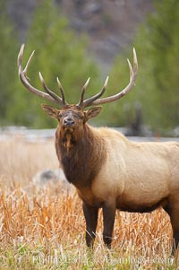 Elk, bull elk, adult male elk with large set of antlers.  By September, this bull elk's antlers have reached their full size and the velvet has fallen off. This bull elk has sparred with other bulls for access to herds of females in estrous and ready to mate. Yellowstone National Park, Wyoming, USA, Cervus canadensis, natural history stock photograph, photo id 19747
