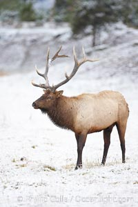 Large male elk (bull) in snow covered meadow near Madison River.  Only male elk have antlers, which start growing in the spring and are shed each winter. The largest antlers may be 4 feet long and weigh up to 40 pounds. Antlers are made of bone which can grow up to one inch per day. While growing, the antlers are covered with and protected by a soft layer of highly vascularised skin known as velvet. The velvet is shed in the summer when the antlers have fully developed. Bull elk may have six or more tines on each antler, however the number of tines has little to do with the age or maturity of a particular animal, Cervus canadensis, Yellowstone National Park, Wyoming