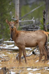 Juvenile elk in woods, Cervus canadensis, Yellowstone National Park, Wyoming