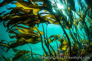 Bull kelp forest near Vancouver Island and Queen Charlotte Strait, Browning Pass, Canada. British Columbia, Canada, Nereocystis luetkeana, natural history stock photograph, photo id 35393