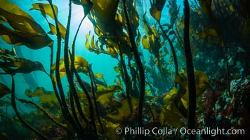 Bull kelp forest near Vancouver Island and Queen Charlotte Strait, Browning Pass, Canada, Nereocystis luetkeana