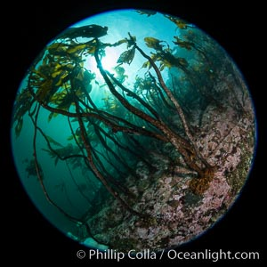 A forest of bull kelp rises above a colorful cold water reef, rich with invertebrate life. Browning Pass, Vancouver Island, Nereocystis luetkeana