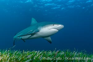Bull shark. Great Isaac Island, Bahamas, Carcharhinus leucas, natural history stock photograph, photo id 12718