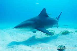 Bull shark. Great Isaac Island, Bahamas, Carcharhinus leucas, natural history stock photograph, photo id 12724