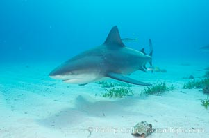 Bull shark. Great Isaac Island, Bahamas, Carcharhinus leucas, natural history stock photograph, photo id 12716