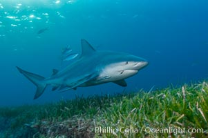 Bull shark. Great Isaac Island, Bahamas, Carcharhinus leucas, natural history stock photograph, photo id 12722