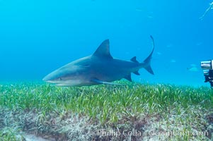 Bull shark. Great Isaac Island, Bahamas, Carcharhinus leucas, natural history stock photograph, photo id 12728