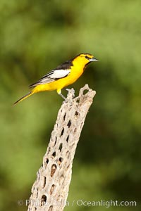 Bullock's oriole, first year male, Icterus bullockii, Amado, Arizona