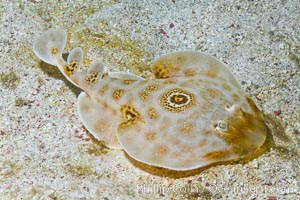 Bullseye torpedo electric ray, Sea of Cortez, Baja California, Mexico. Sea of Cortez, Baja California, Mexico, Diplobatis ommata, natural history stock photograph, photo id 27541