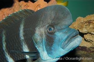 Bumphead Cichlid, Cyphotilapia frontosa