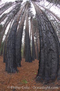 Burned tree trunks, charred bark, burnt trees resulting from a controlled burn fire, Yosemite National Park, California