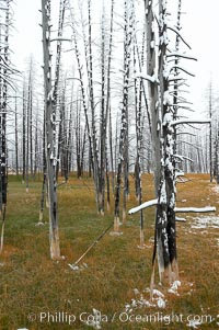 Burned trees hold snow while the ground, warmed by hot springs, remains free of snow, Yellowstone National Park, Wyoming