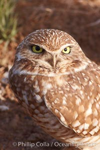 Image 22481, Burrowing owl (Western North American race hypugaea). This 10-inch-tall burrowing owl is standing besides its burrow. These burrows are usually created by squirrels, prairie dogs, or other rodents and even turtles, and only rarely dug by the owl itself. Salton Sea, Imperial County, California, USA, Athene cunicularia, Athene cunicularia hypugaea