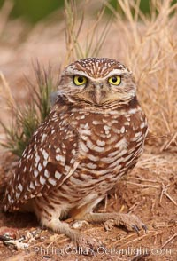 Burrowing owl (Western North American race hypugaea). This 10-inch-tall burrowing owl is standing besides its burrow. These burrows are usually created by squirrels, prairie dogs, or other rodents and even turtles, and only rarely dug by the owl itself. Salton Sea, Imperial County, California, USA, Athene cunicularia, Athene cunicularia hypugaea, natural history stock photograph, photo id 22484