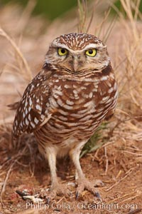 Image 22525, Burrowing owl (Western North American race hypugaea). This 10-inch-tall burrowing owl is standing besides its burrow. These burrows are usually created by squirrels, prairie dogs, or other rodents and even turtles, and only rarely dug by the owl itself. Salton Sea, Imperial County, California, USA, Athene cunicularia, Athene cunicularia hypugaea
