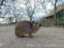Bush hyrax, or yellow-spotted rock hyrax, Meru National Park, Kenya, Heterohyrax brucei
