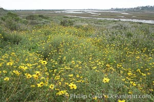Bush sunflower, Encelia californica, San Elijo Lagoon, Encinitas, California