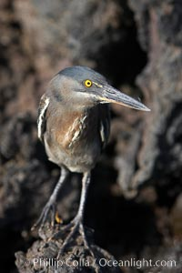 Lava heron on volcanic rocks at the oceans edge, Punta Albemarle. Isabella Island, Galapagos Islands, Ecuador, Butorides sundevalli, natural history stock photograph, photo id 16588