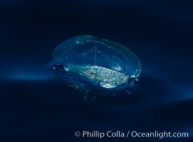 By-the-wind-sailor hydroid colony, open ocean, Velella velella, San Diego, California