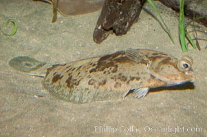 C-O sole., Pleuronichthys coenosus, natural history stock photograph, photo id 07884