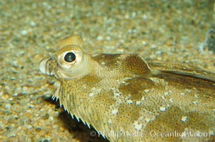 C-O sole., Pleuronichthys coenosus, natural history stock photograph, photo id 08949