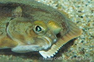 C-O sole., Pleuronichthys coenosus, natural history stock photograph, photo id 08950