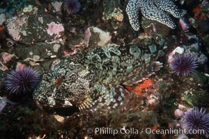 Cabezon, Scorpaenichthys marmoratus, Santa Barbara Island