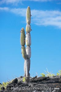 Cactus and lava, Punta Albermarle, Isabella Island
