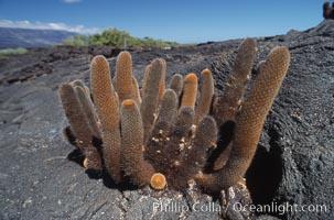 Cactus and lava field, Punta Espinosa, Fernandina Island